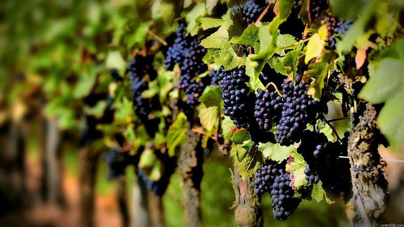 El resurgir de las uvas criollas: el desafío de poner en valor y mostrar la otra cara de los varietales argentinos