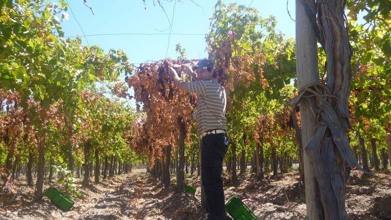 """""""Veranito"""" en primavera: cómo evitar que las altas temperaturas dañen el viñedo"""