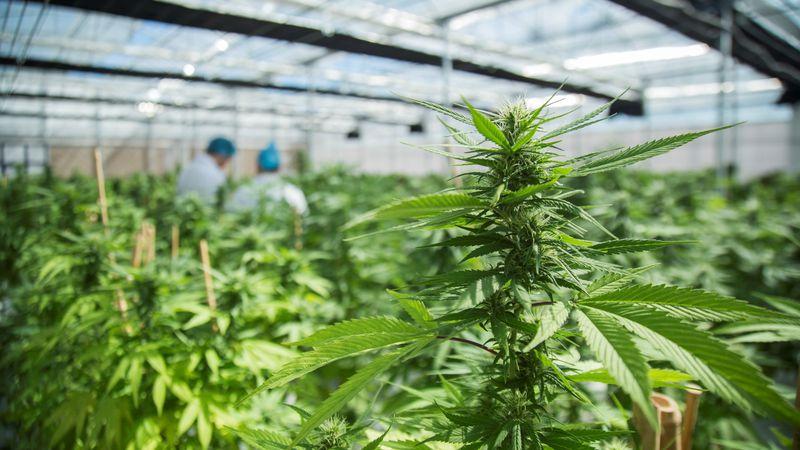 Cultivo de cannabis, un proyecto provincial que une salud y economía