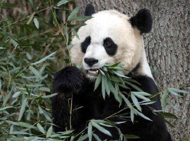 Es importante tener en cuenta que el bambú forma parte del 99% de su dieta, es probable que sin el mueran de hambre.