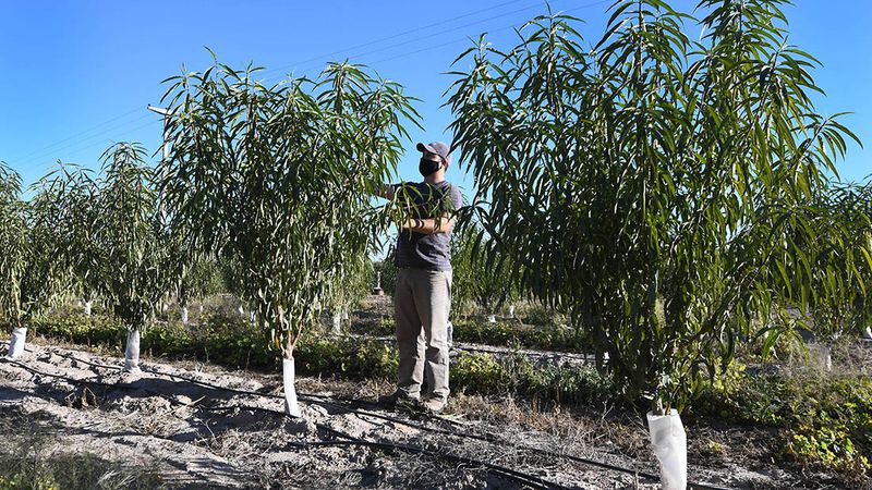 Productores de punta. Más de 600 hectáreas con durazno para industria en Valle de Uco