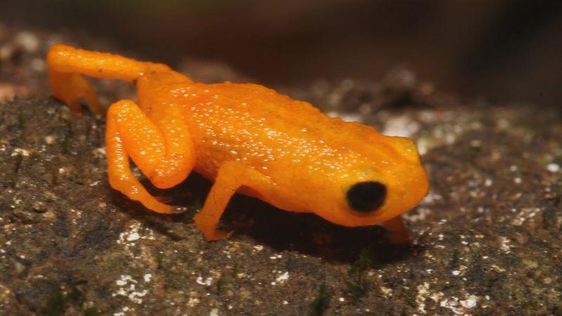 ¿Lo habías visto? Encontraron en Brasil un sapo naranja híper venenoso
