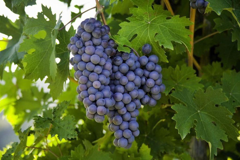 El Pinot Noir es una cepa que está presente en casi todas las regiones vitivinícolas del mundo. - Imagen web