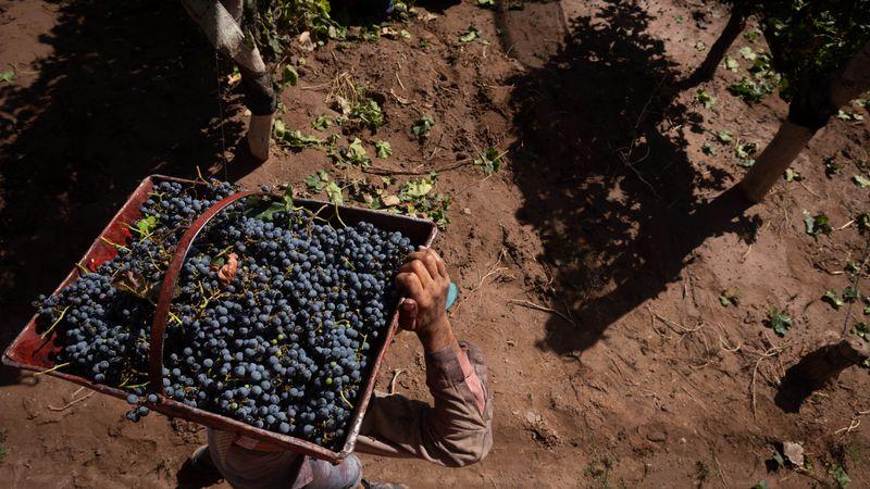 Cosecha: ingresó a las bodegas más uva que la pronosticada por el INV