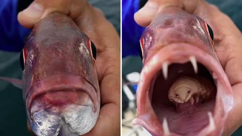 """Le abrió la boca a un pez carpintero y descubrió un piojo """"extraterrestre"""" que le funcionaba como lengua"""
