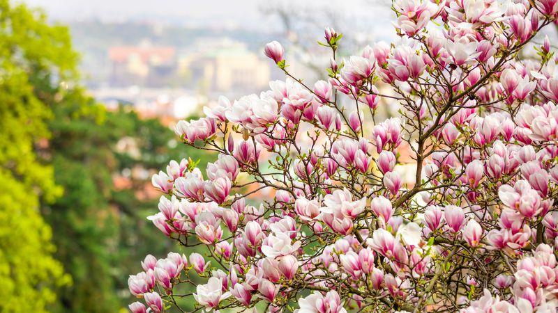 ¡Jardinería para el Guinness! Tips para cultivar el asombroso árbol de magnolias gigantes