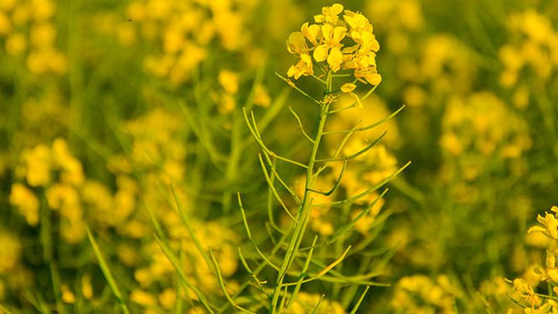 Proponen sembrar colza para generar biocombustible