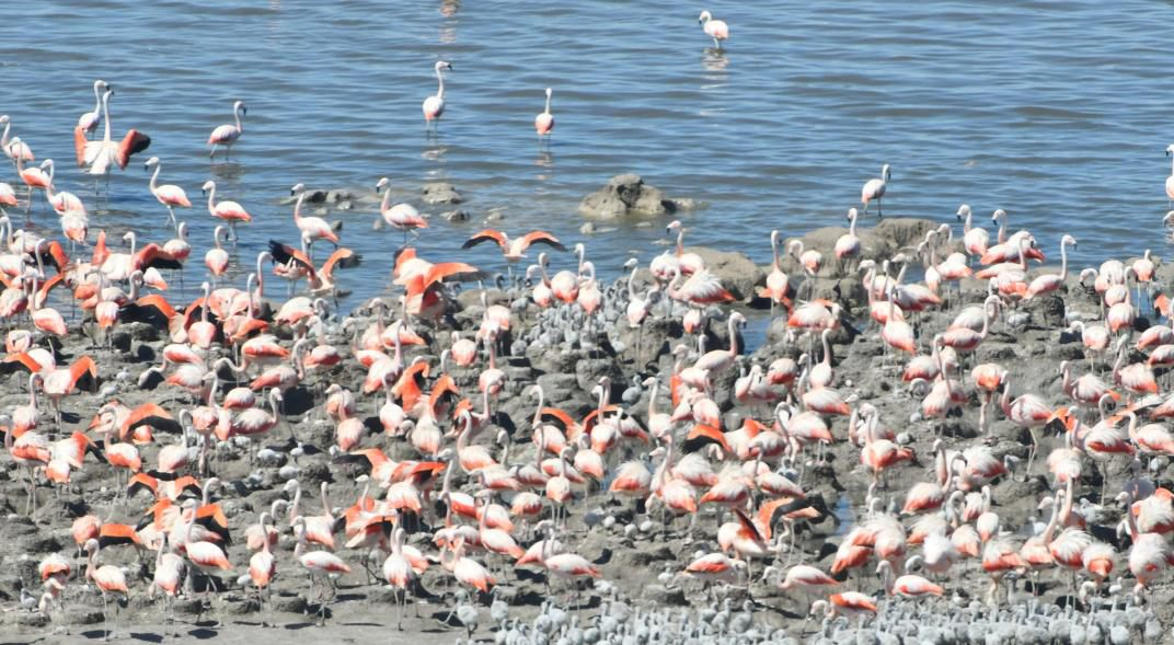 Miles de flamencos llegaron con sus crías a las orillas de la laguna Mar Chiquita en Córdoba. Gentileza / La Voz