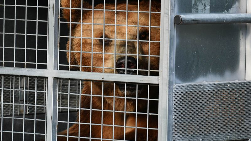 Trasladaron diez osos pardos del ex Zoo aun santuario en EEUU