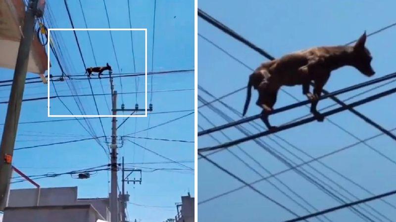 """El """"chihuahua araña"""": el TikTok del perro parado sobre los cables de luz que se hizo viral"""