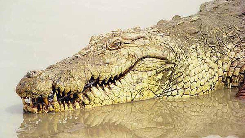 Cazaron un caimán de casi cuatro metros y resolvieron el misterio de la desaparición de cuatro perros