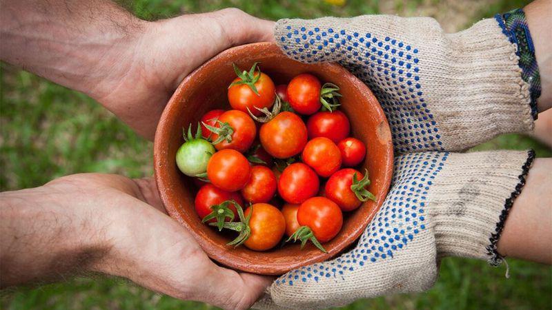 Paso a paso cómo plantar tomates en botellas de plástico colgantes