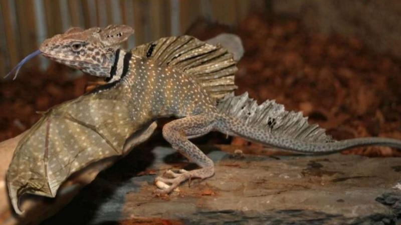 ¡Los dragones sí existen! Encontraron en el Sudeste Asiático un lagarto con alas