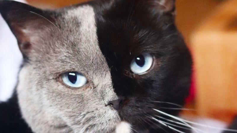 Una ternurita: la gatita de dos caras que enamora al mundo entero