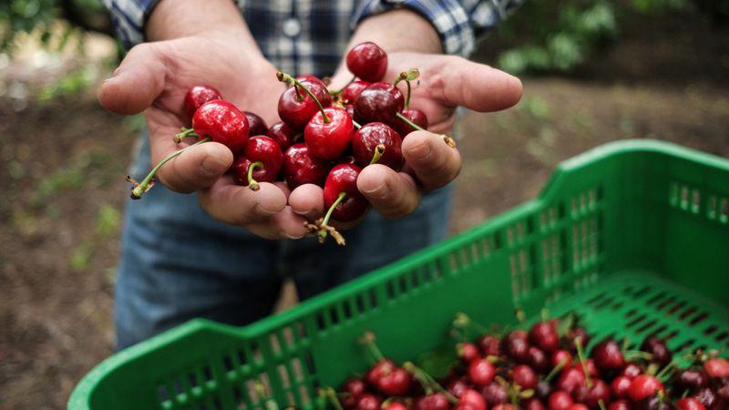 El Senasa abrió la inscripción para los productores de cereza que quieran exportar a China