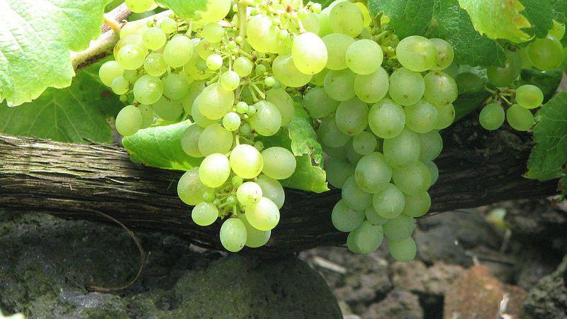 El INV reconoció una nueva variedad de uva para la elaboración de vinos: cuál es y en qué provincias está
